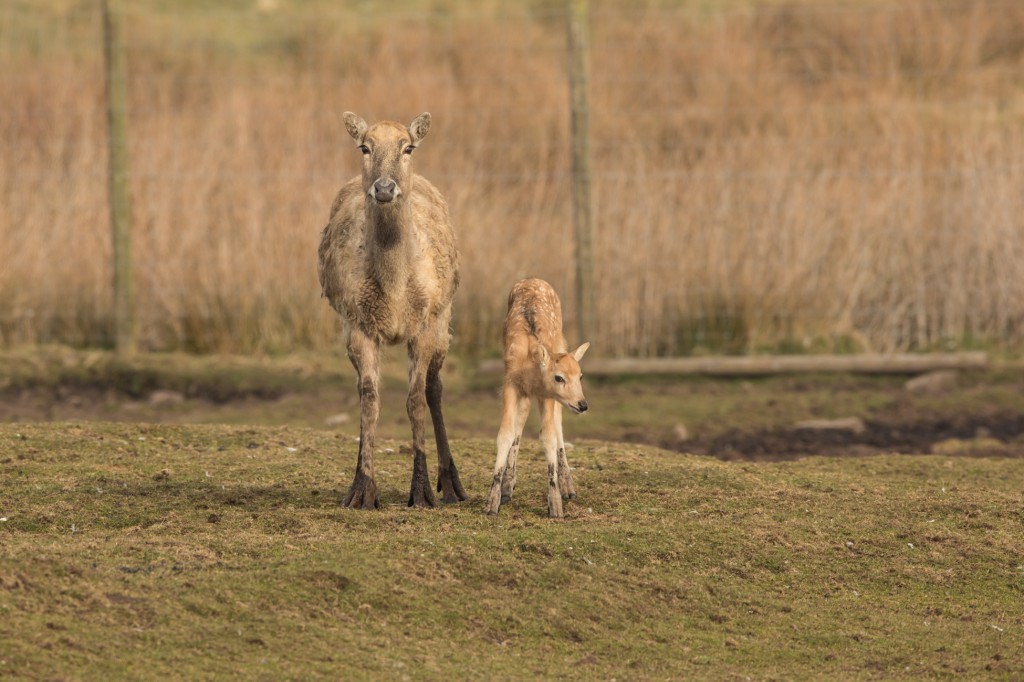 knowsley_safari_park_baby_deer