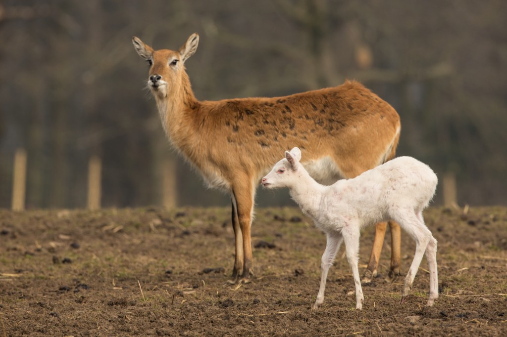 knowsley_safari_park_lechwe_calf