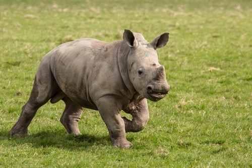 prescot_knowsley_safari_park_baby_rhino
