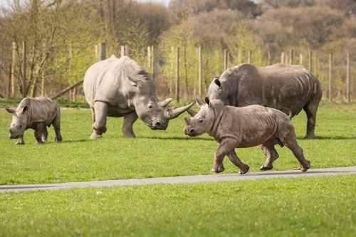 prescot_knowsley_safari_park_baby_rhinoceros