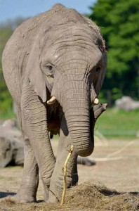 knowsley_safari_park_elephant