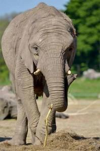 knowsley_safari_park_elephant