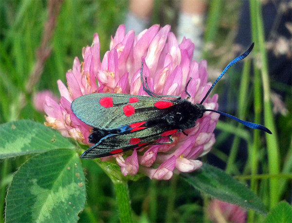 burnet_moth