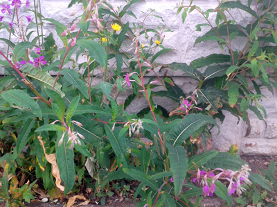 rose_bay_willowherb_sow_thistle