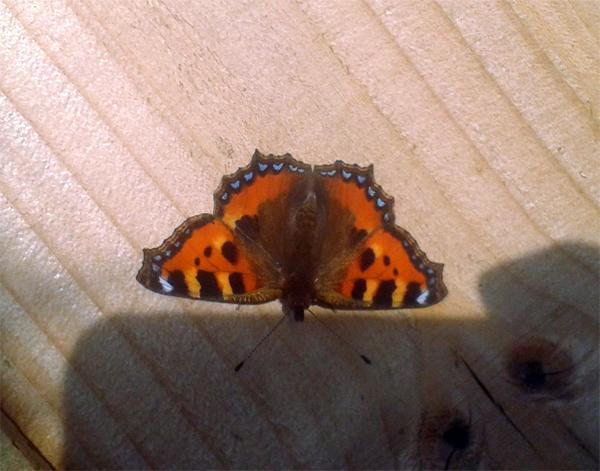 small_tortoiseshell_butterfly
