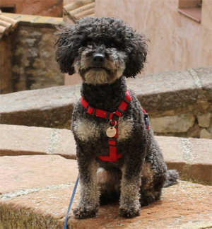 harvey_missing_poodle_rainhill