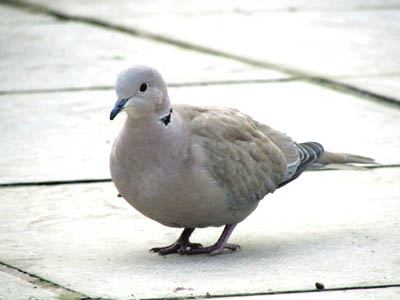 collared_dove