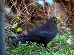 male_blackbird
