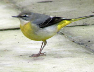 grey_wagtail_bird