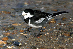 pied_wagtail_bird