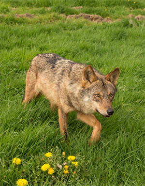 iberian wolf knowsley safari park prescot