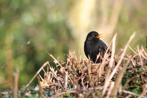 blackbird_Mike_Vass