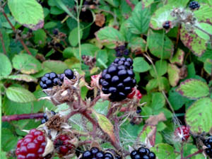 blackberries_2