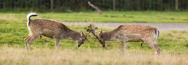 deer_locking_horns_antlers_knowsley_safari_park