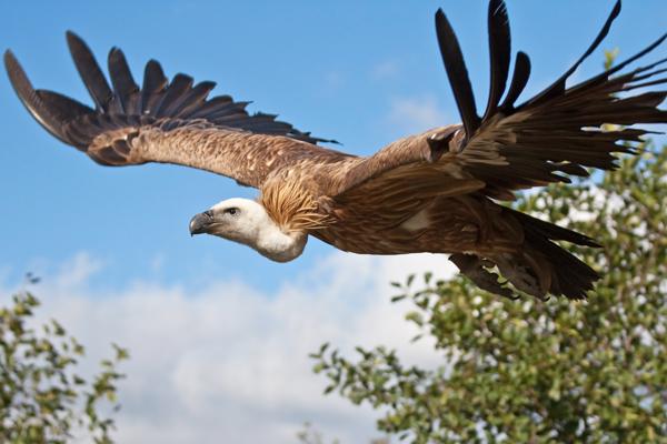 griffon_vulture_knowsley_safari