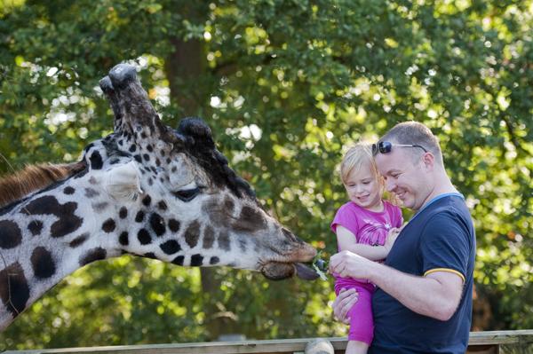knowsley_safari_giraffe