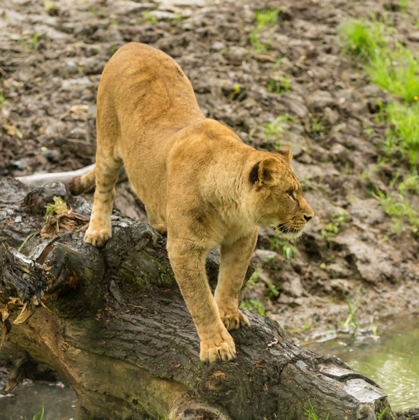 knowsley_safari_park_lion