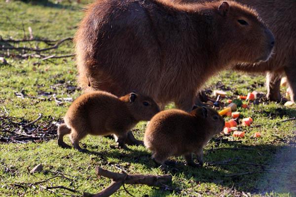 Capybara_family_Knowsley_Safari_Park