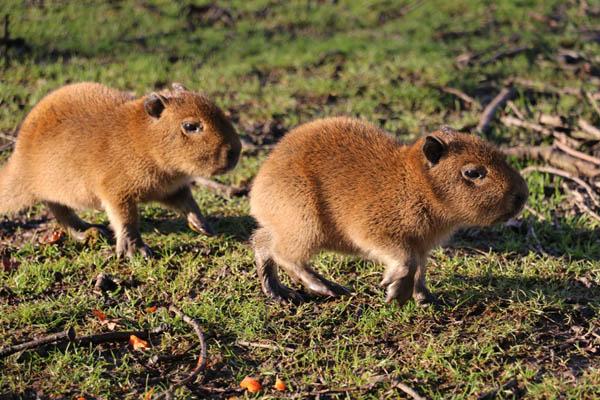 capbyara_pups_babies_knowsley_safari
