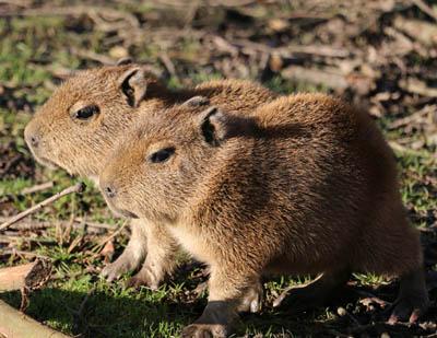 capybara_pups
