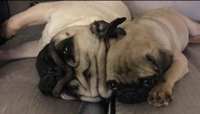 stolen_dogs_pugs_rainhill